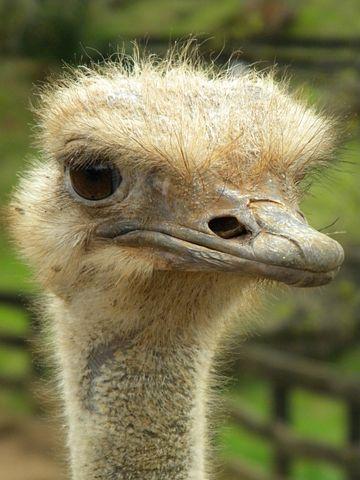 Ostrich, Eyes, Animals, Portrait, Observe, Green, Head
