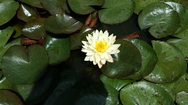 Water Lily, Leaves, Green, Flourished, Leaf, Bloom