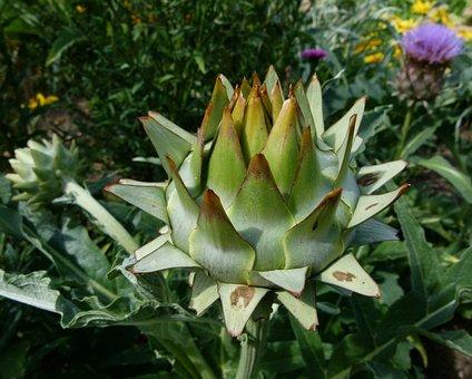Cardunculus Scolymus, Globe Artichoke, Thistle, Head