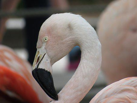 Flamingo, Bird, Pink, Animal, Zoo, Beak, Head, Feather