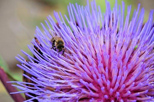 Artichokenblüte, Insect, Bee, Purple, Artichoke