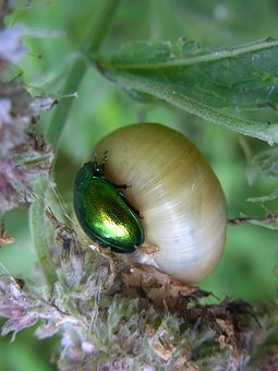 Minzblattkaefer, Chrysolina Herbacea, Beetle, Snail
