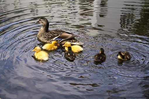 Ducklings, Duck, Mother, Motherhood, Water, Bird