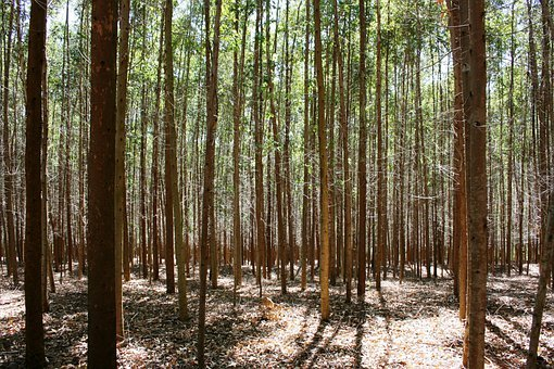 Forest Of Eucalyptus, Trees, Abstract, Nature, Woods