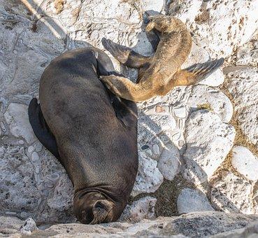 Sea Lion, Mother, Baby, Nursing, Wildlife, Nature