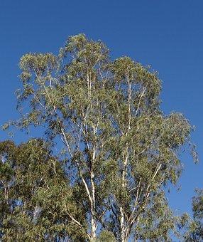 Eucalyptus Tree, Tree, Nilgiri Tree, Sadhankeri