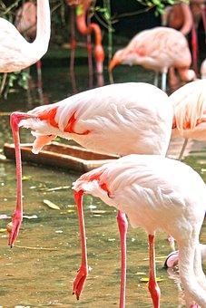 Flamingo, Pink, Water Bird, Pink Flamingo, Bird, Zoo