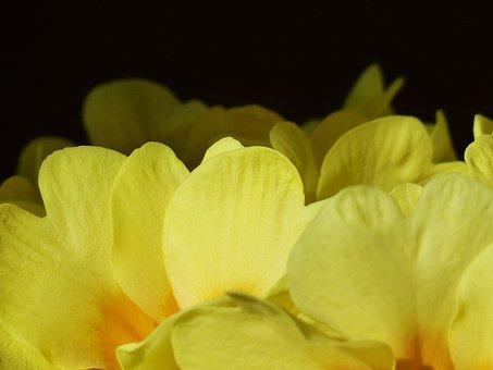 Primrose, Flower, Blossom, Bloom, Yellow, Primula
