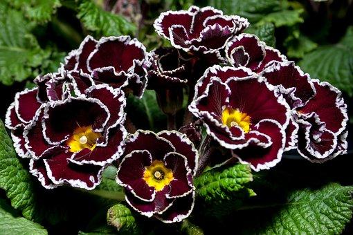Primula, Violet, Special Grades, Primrose