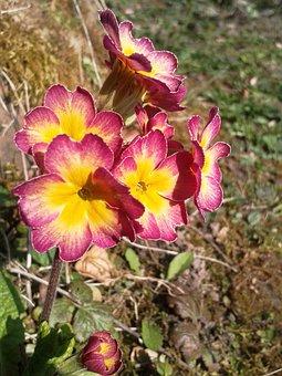 Cowslip, Purple, Yellow, Pink, Red, Flower, Garden