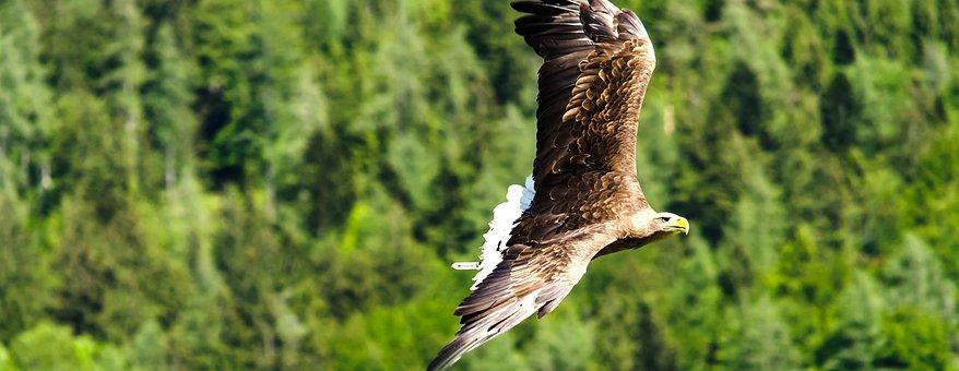 Imperial Eagle, Adler, Raptor, Bird Of Prey, Fly, Bird