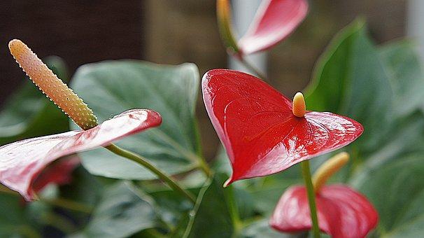 Anthurium, Red Flower, Red Leaf, Flourish, Garden