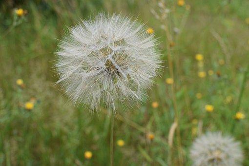 Dandelion, Seeds, Close Up, Flying Seeds, Nature, Plant