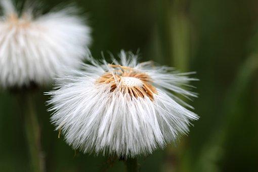 Tussilago Farfara, Dandelion, Seeds, Flying Seeds