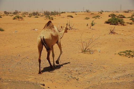 Camels, Desert, U A E, Holiday, Safari, Sun, Oasis