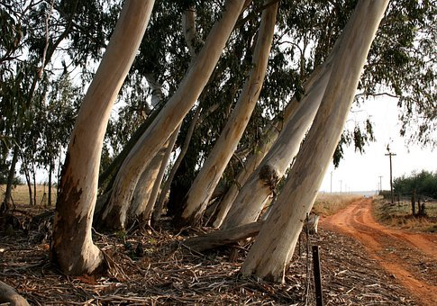Eucalyptus, Bluegum, Trees, Trunks, Thick, White