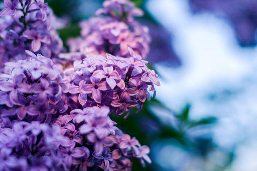 Without, Lilac Flower, Lilac Flowers