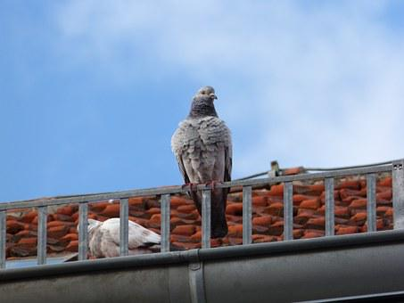 Dove, Roof, Pigeon On The Roof, Bird, Tile, Blue, Sky