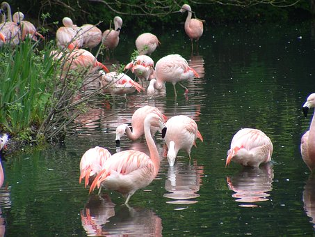 Flamingos, Zoo, Dublin Zoo, Wild, Bird