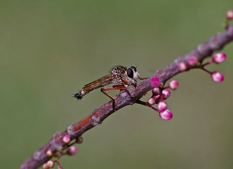 Brown Robber Fly, Insect, Fly, Bug, Wild, Eye, Branch