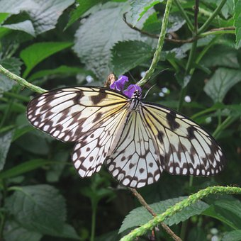 Variegated Fritillary, Butterfly