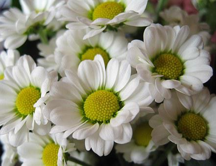 Chrysamthemen, Margerithen, Flowers, Cut Flowers