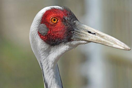 White Neck Crane, Bird, Crane Bird, Crane, Close Up