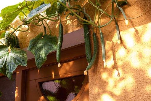 Cucumber, Cucumis Sativus, Cucurbitaceae