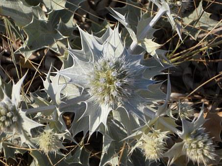 Holly, Thistle, Dune Vegetation, Plant, Prickly