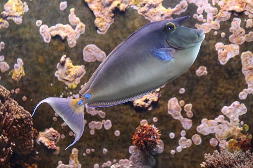 Rhino Fish, Fish, Nose Doctor Fish Fish, Ocean, Sea