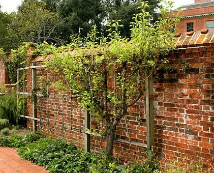 Espalier, Fruit Tree, Pruned, Trained, Garden Wall