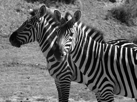Zebras, Stripes, Black And White, Two, Striped, Head