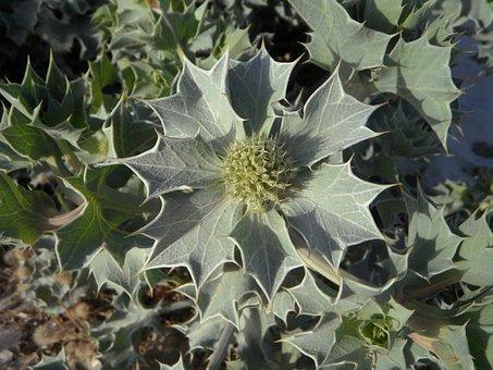 Holly, Plant, Dune Flora, Dune Plant, Dune Vegetation