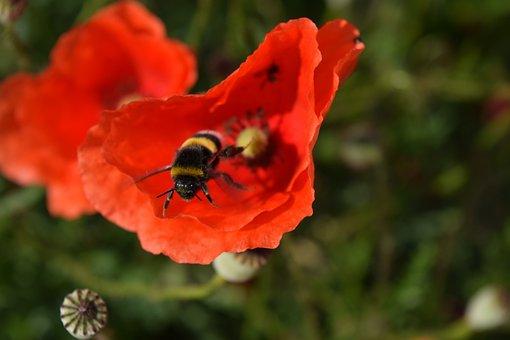 Hummel, Poppy Flower, Departure, Start, Take Off