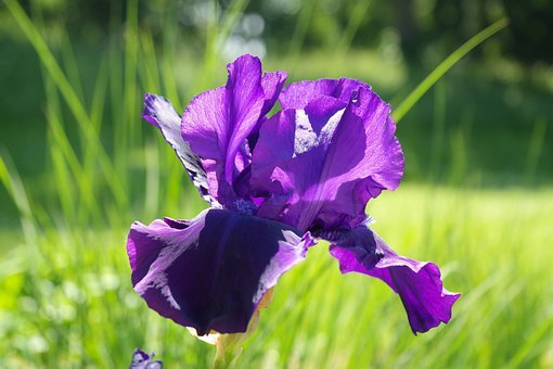 Iris, Blossom, Bloom, Dark Purple, Flower, Violet