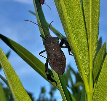 Beetle, Bug, Leaf Footed Bug, Insect, Flying Insect