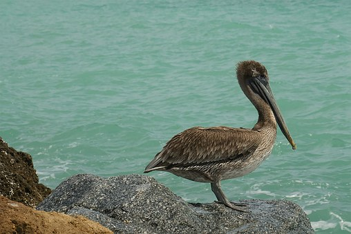 Pelican, Beach, Ocean, Gulf, Feathers, Nature, Outdoors