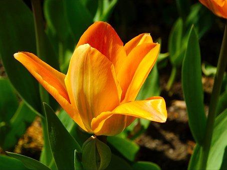 Tulip, Flower, Perennial, Orange, Background