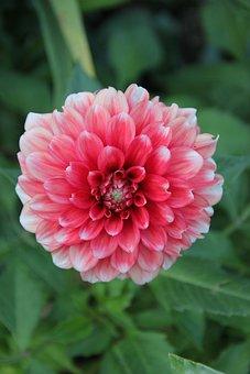 Schmuck-dahlia, White Pink, Composites, Close, Petals