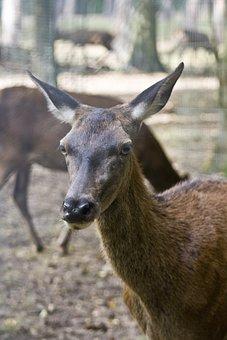 Are You Looking At, Red Deer, Doe, Hirsch, Antler