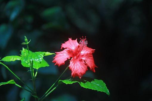 Althea, Red, Summer, Plant, Gord