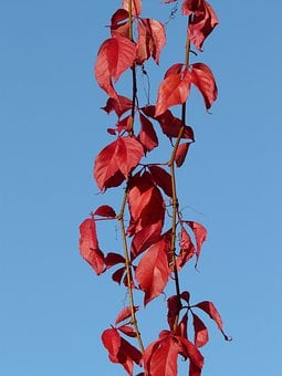 Ordinary Jungfernrebe, Wine Partner, Wine, Leaves, Red