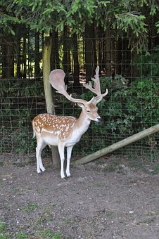 Roe Deer, Hirsch, Wild, Forest, Antler, Animal
