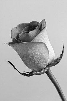 Rose, Flower, Grey, Floral, Blossom, Roses Background