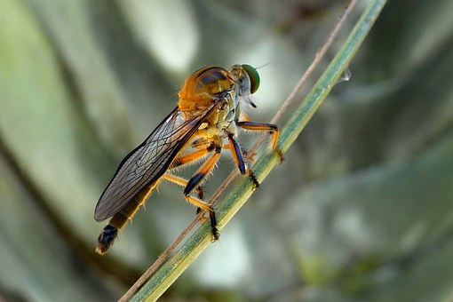 Robber Fly, Dioctria Rufipes, Insects, Sting