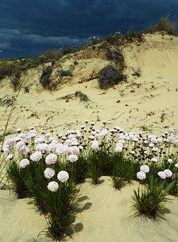 Donana, Spain, Dunes, Wildflower, Flowers, Floral