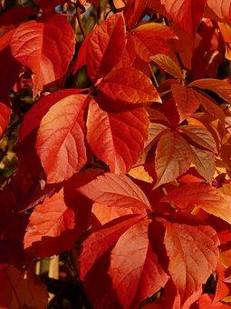 Climbing Mauerwein, Wine Partner, Wine, Leaves, Red