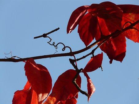 Ordinary Jungfernrebe, Wine Partner, Wine, Leaves, Red