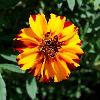 Marigold, Flower, Variegated, Yellow, Orange, Floral