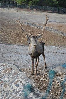 Red Deer, Antlered Deer, Turkey Deer, Animal, Zoo